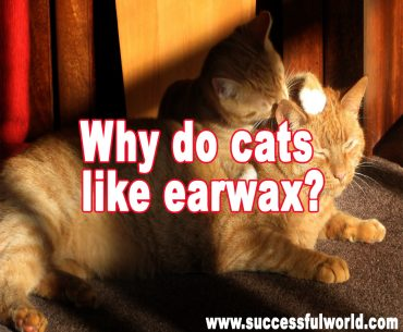 Why do cats like earwax